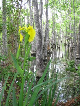 Slidell, Louisiane : Iris in the swamp