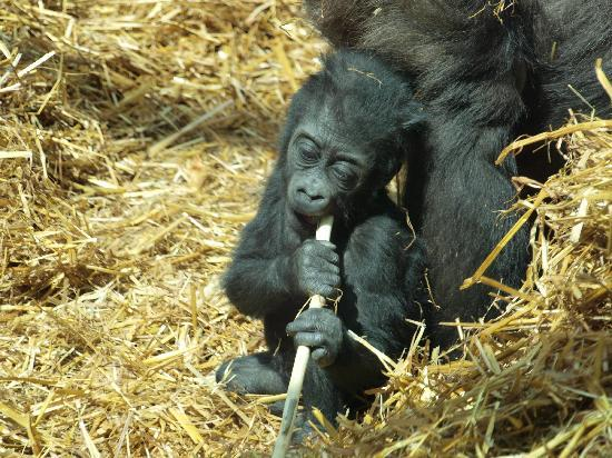Lympne, UK: Teething Gorilla?