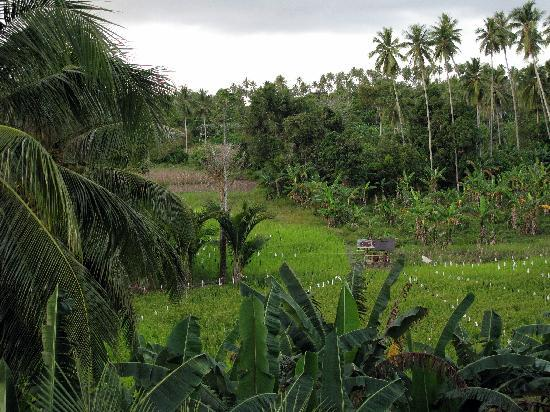 Bunaken Island, Indonesia: Rice paddy view from the sun deck