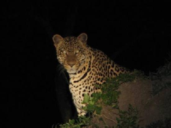 Lake Mburo National Park, Uganda: Leopard in Lake Mburo Park