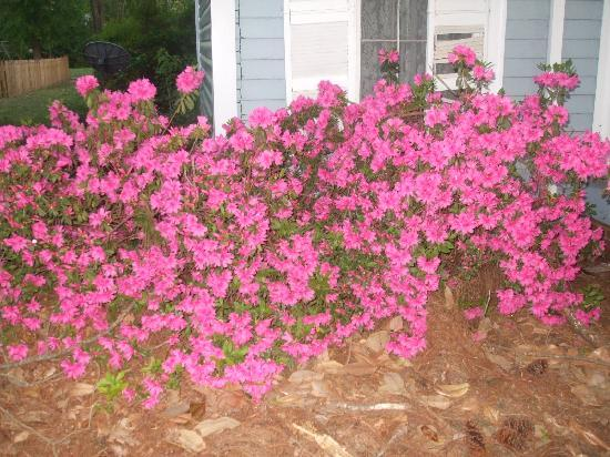 The Carriage House Bed and Breakfast: Azaleas in full bloom