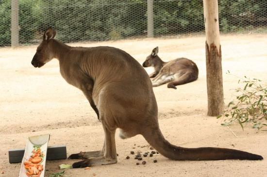 Melbourne Zoo: This is a kangaroo, of course!