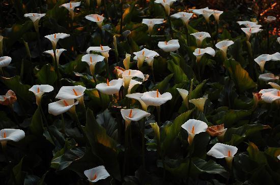 Imouzzer des Ida Outanane, Morocco: Lilies in the garden