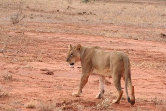 Watamu, Kenya: Safari parco Tsavo Est