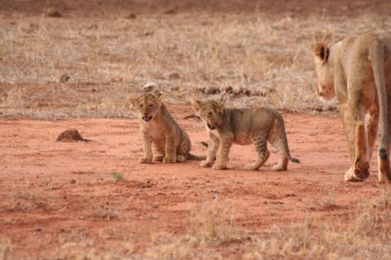 Γουατάμου, Κένυα: Safari parco Tsavo Est
