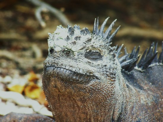 Red Mangrove Aventura Lodge: Iguanas are everywhere