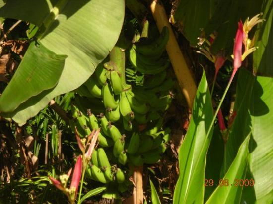Iloilo City, Filippinene: Our bananas