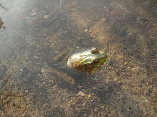 Algonquin Park, Canada: Frog!