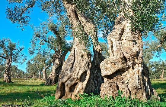 Serrano, Italie: Ulivi