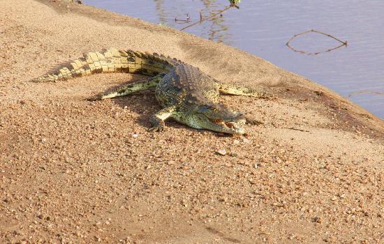 Hans Merensky Hotel & Estate: questo coccodrillo vicino al campo da golf!!!