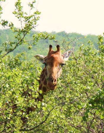 Hans Merensky Hotel & Estate: giraffa