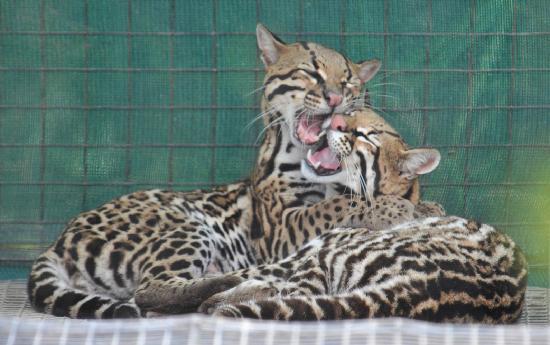 Zoo de Guyane: Cats