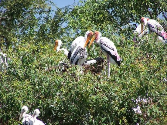 Mysore, Inde : All the pelicans on their nests in the trees