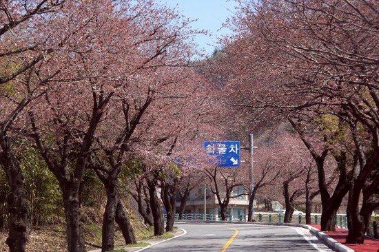 Namhae-gun, Южная Корея: Cherry Blossom Season.... very nice and beautiful..
