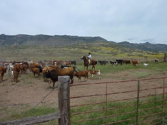 Price Canyon Ranch: cattle drive