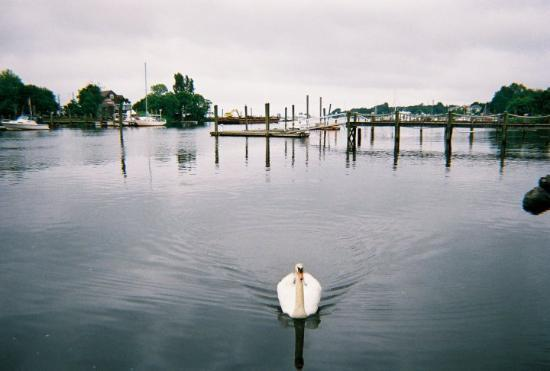 Cranston, RI: A swan in the inlet.