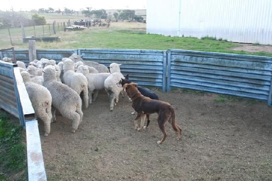 Bathurst, Australia: Kelpies - Australian sheep dogs at work