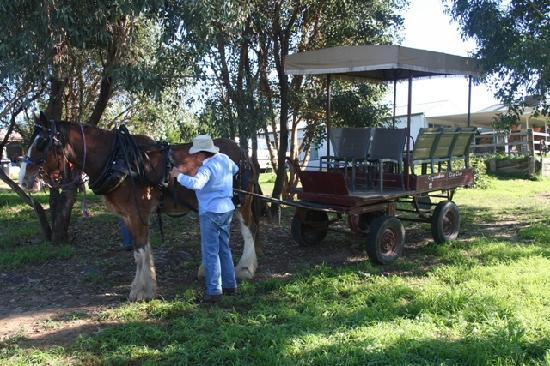 Bathurst, Australia: Preparing Barcoo for a wagon ride