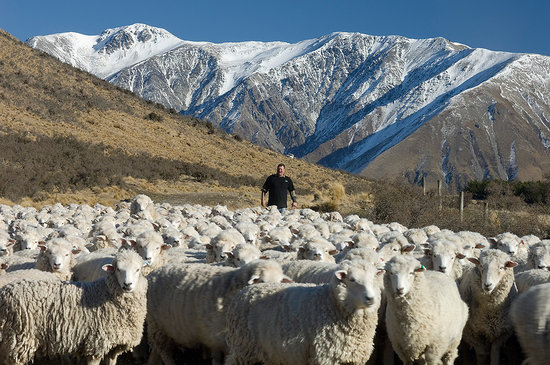 Darfield, Nueva Zelanda: Sheep mustering at Middle Rock