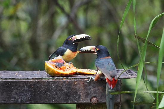 Belice: Toucans having their breakfast at Crystal Paradise resort