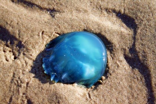 San Felipe, México: Blue Jellyfish