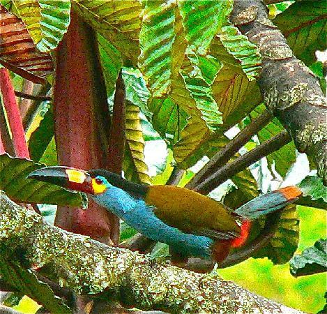 El Refugio de Intag Lodge: el refugio toucan