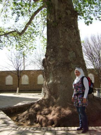 Shakhrisabz, Uzbekistan: A 13th century tree.....