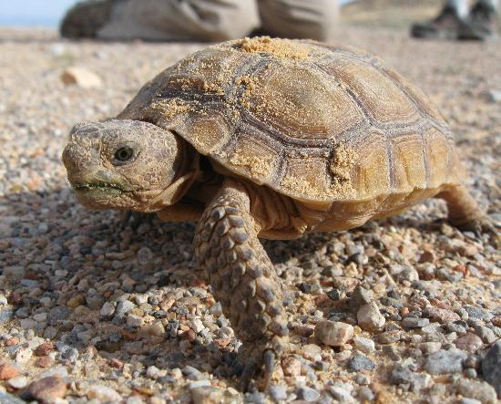 Valley of Fire State Park: Juvenile Desert Tortoise