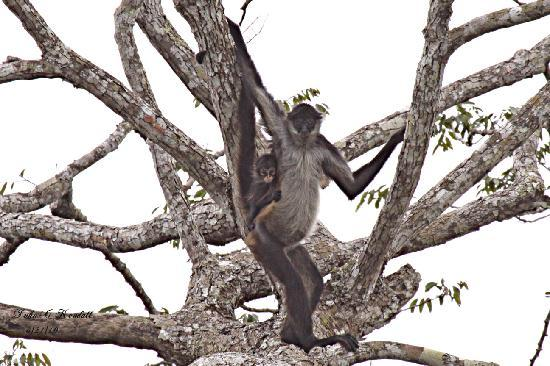 Chan Chich Lodge : Spider Monkey and young