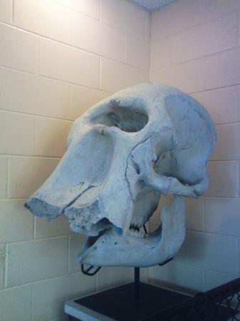Green Bay, WI : Elephant Bones