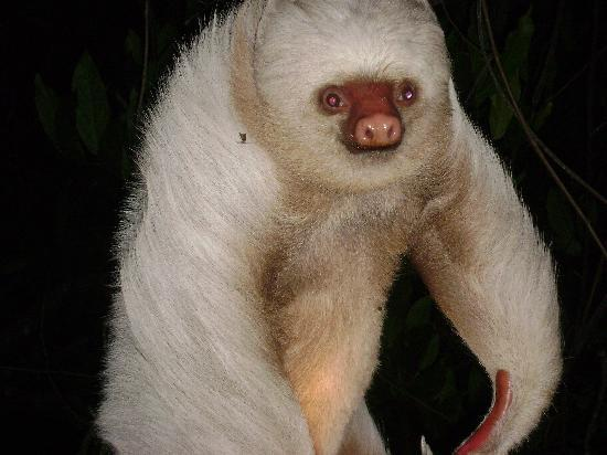 Parador Resort and Spa: sloth that joined us for dinner