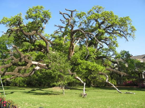 Estorge-Norton House: Live oak across the street