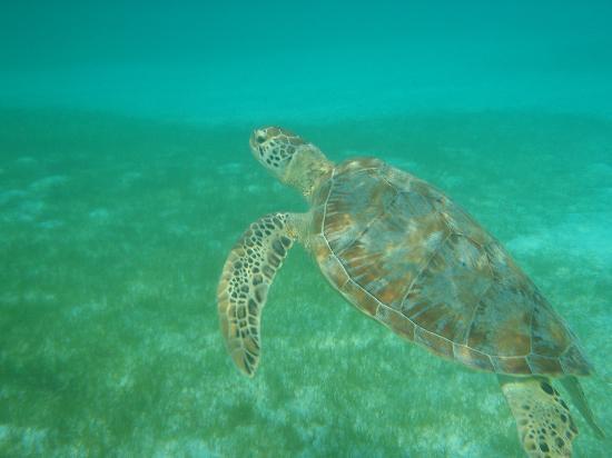 Kuredu Island Resort & Spa: Turtle coming up for air