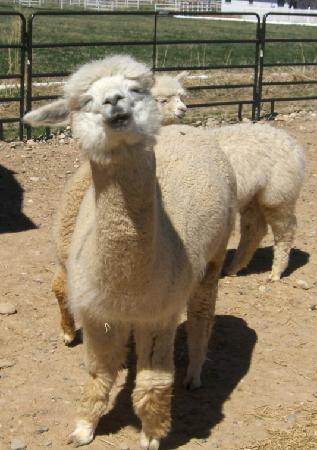 Palisade, Kolorado: Alpacas rule!