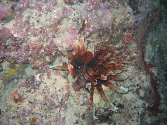 Gau Island, ฟิจิ: lord of his jungle the lion fish