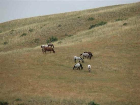 Bighorn, MT: wild horses