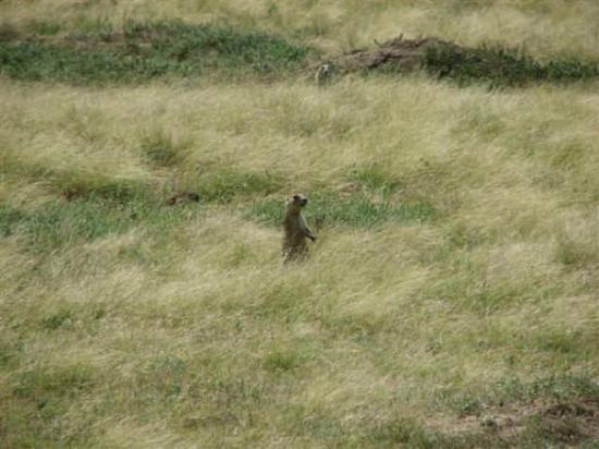 Bighorn, MT: prairie dog