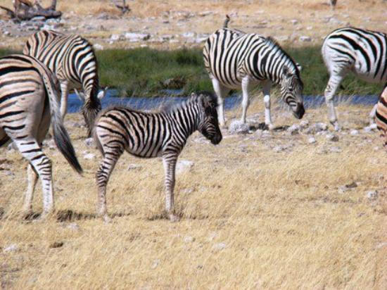 Etosha National Park, นามิเบีย: Baba sebratjie!