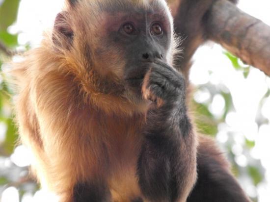 Rurrenabaque, Bolivia: cappuchino monkey