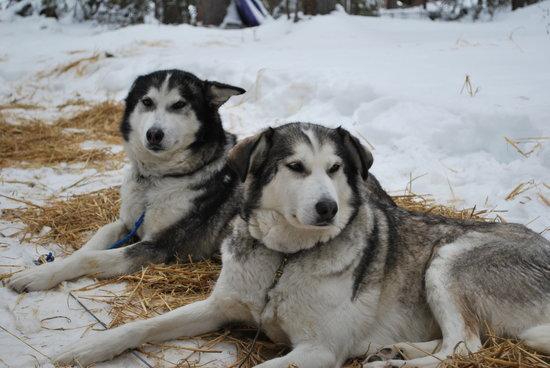 Muktuk Adventures: Alaskan huskies