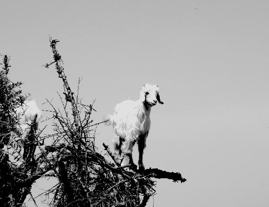 Marrakech, Morocco: goat in tree - on road to essaouira