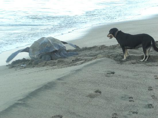 Turtle Beach by Rex Resorts: Daytime nesting watched over by Chelsea the turtle dog