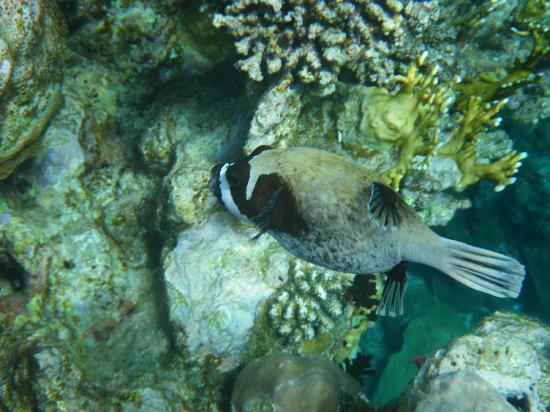 Steigenberger Coraya Beach: Kugelfisch