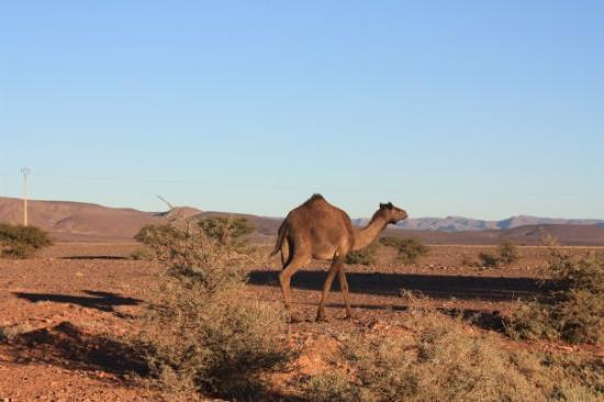 Sidi Ifni, Maroc : Osamělej velbloud :)