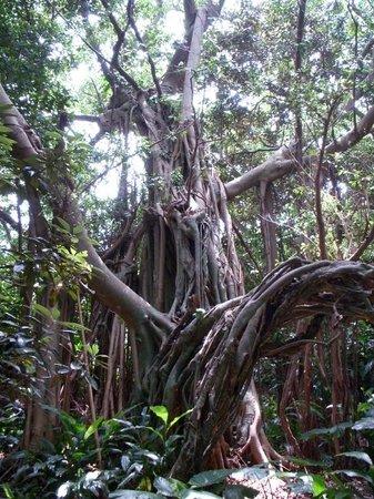 Shitogo Banyan Tree