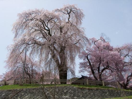 Ina, Japan: famous droop cherry blossoms