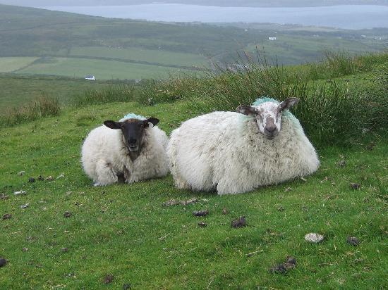 St. Brendan's Well: Sheep on the Hillsides of Valentia Island, Irelan