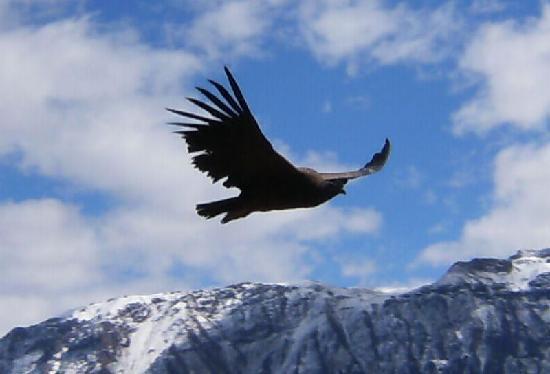 Κόλκα Κάνιον, Περού: Condors