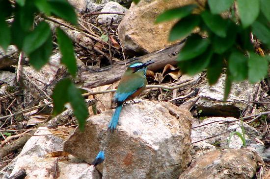 Genesis Eco-Oasis: Amazing bird life - a Motmot