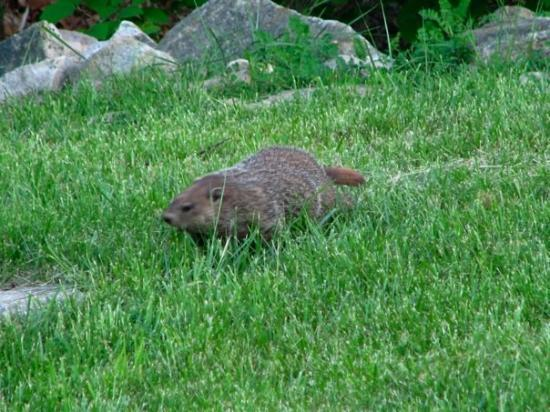 Mount Crawford, VA: ...and what I think is a groundhog. He was huge!